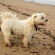 Stock Photo: Close-up Tired Maltese Dog on Beach