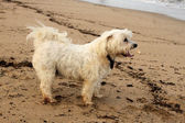 Close-up Tired Maltese Dog on Beach — Stock Photo