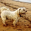 Stock Photo: Illustration Tired Maltese Dog on Beach