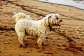 Illustration Tired Maltese Dog on Beach — Stock Photo