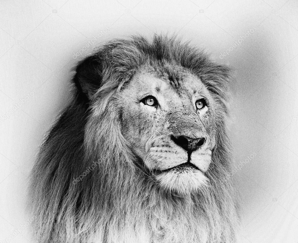 saisissant portrait de visage de lion noir et blanc. Black Bedroom Furniture Sets. Home Design Ideas