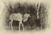 Sepia Walking Kudu Bull Vintage Artwork — Stock Photo