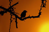 Small Bird in Thorn Tree Sunset Silhouette — Stock Photo