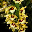 Colorful Orchid Species — Stock Photo #36442193