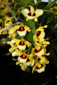 Colorful Orchid Species — Stock Photo
