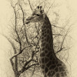 Stock Photo: Old Sepia Image Giraffe Head Side Profile