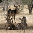 Stock Photo: Herd of Alert Waterbuck Listening