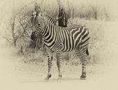 Heathy and proud Zebra. Sepia image. — Stock Photo