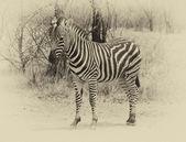 Heathy and proud Zebra. Sepia image. — Stock Photo