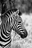 Zebra Head Side Profile Picture Black and White — Stock Photo