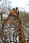Side Profile Picture of Giraffe Head — Stock Photo