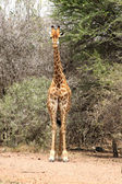 Front View of Strong Bodied Giraffe standing next to trees — Stock Photo