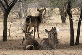 Herd of Alert Waterbuck Listening — Stock Photo