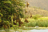Weaver-bird Nests Over a River — Stock Photo