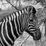 Постер, плакат: Zebra Head Side Profile Picture Balck and White