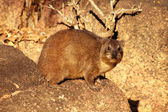 Side View of Dassie on Rocks — Стоковое фото