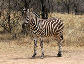 Heathy and proud Zebra — Stock Photo