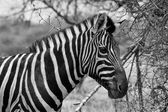 Zebra Head Side Profile Picture Balck and White — Stock Photo
