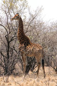 Giraffe standing next to large tree — Stock Photo