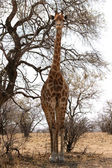 Front View of Large Strong Bodied Giraffe standing next to trees — Stock Photo