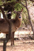 Alert Waterbuck Listening — Foto Stock