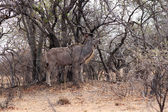 Kudu Bull Camouflage — Stock Photo