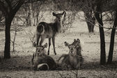 Sepia Toned Picture of Herd of Alert Waterbuck Listening — Stock Photo
