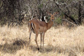 Alert Impala Ewe Looking Backwards — Stock Photo