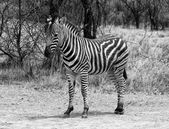 Heathy and proud Zebra Black and White — Stock Photo