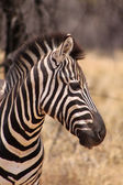 Zebra Head Side Profile Picture — Stock Photo