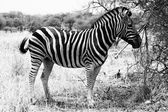 Zebra Standing Black and White Picture — Stock Photo