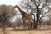 Giraffe standing next to large tree — ストック写真