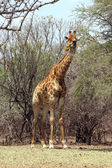 Strong Bodied Giraffe standing next to trees — Stock Photo