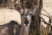 Kudu Cow under Bushvelt Tree Ears Back — Stock Photo