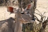 Kudu kráva pod bushvelt stromem poslech — Stock fotografie