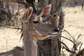 Kudu Cow Listening with Both Ears Turned Forward — Photo