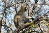 Vervet Monkey in a Tree — Stock Photo