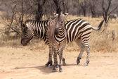 Two Zebras Standing in T-Shape Vector — Vecteur