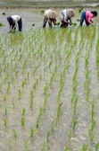 Agriculture industry: Rice field worker — Stock Photo