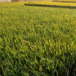 Rice field agriculture farm — Foto Stock