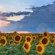 Panoramof sunflowers on sunset — Stock Photo #29509301