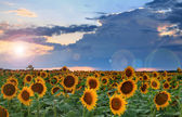 Panorama of sunflowers on the sunset — Stock Photo