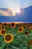 Sunflower on the sunset — Stock Photo