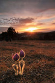 A couple of flowes on sunset in mountains — Stock Photo