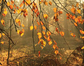 Autumn leaves in misty forest — Stockfoto
