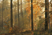 Autumn misty forest — Foto Stock