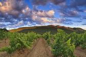 Panorama of the vineyards at sunset — Stock Photo