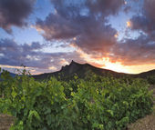 Panorama of the vineyards at sunset — Stock Photo