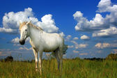 The white horse on the field — Stock Photo