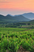 Vineyard at sunset — Stock Photo